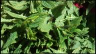 (HD1080i) Fresh Organic Mint video