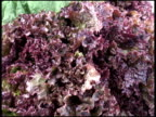 Fresh Organic Romaine / Cos Red Leaf Lettuce video