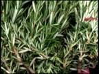 Fresh Organic Rosemary video