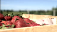 fresh organic strawberries video
