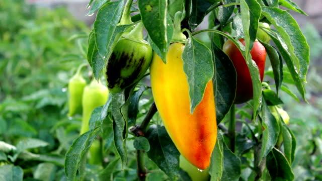 Fresh organic sweet pepper in a garden video