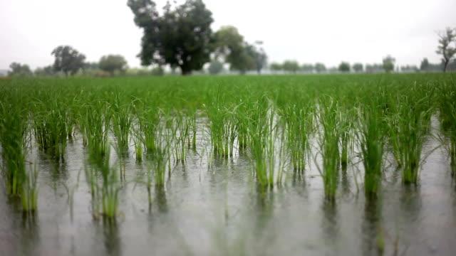 Fresh paddy crop video