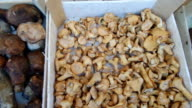 Fresh Porcini And Chanterelles Mushrooms video