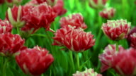 fresh red flowers video