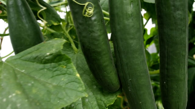 Fresh ripe cucumbers in the greenhouse VIDEO video