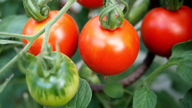 Fresh ripe red tomatoes in the greenhouse VIDEO video