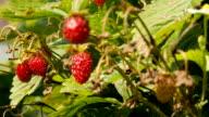 Fresh, ripe strawberry, still on the bush video