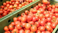 Fresh Ripe Tomato Harvest video