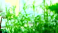 Fresh rosemary herb video