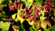 Fresh semi-ripe Blackberry in the garden video