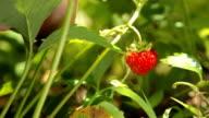 Fresh strawberry closeup video
