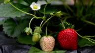 fresh strawberry video