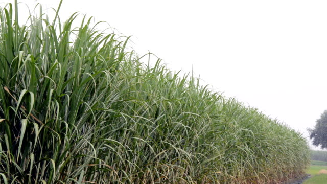 Fresh Sugarcane Field Perspective View. video