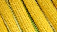 Fresh sweet corn background video