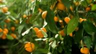Fresh Tangerines on a tree video