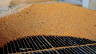 Freshly Harvested Corn Grains video
