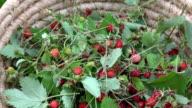 Freshly picked wild strawberries in wicker basket video