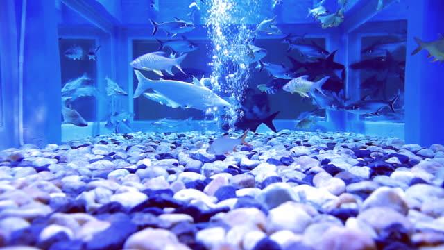 Freshwater Fish video