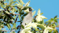 Friar Honeyeater Bird Feeding on Melaleuca Flowers video