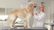 Friendly Veterinarian Stroking A Dog video