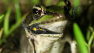 Frog cannibalism. video