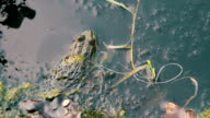 Frog in the River near the Lilies video