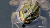 Frog in the River video