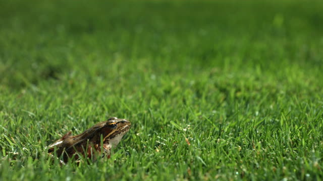 Frog jumping in grass, slow motion video