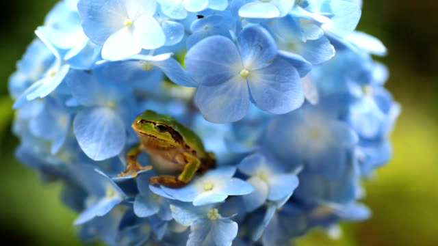 Frog on the Hydrangea video