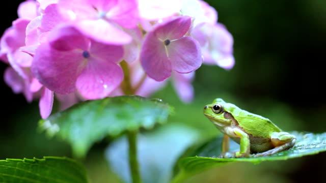 Frog sitting on a hydrangea leaf video