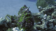 Frogfish video
