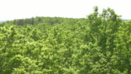 AERIAL From treetops to the green underlayer of forest video