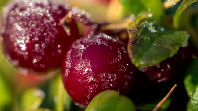 Frost melting on cow-berry plant leaves, full HD video