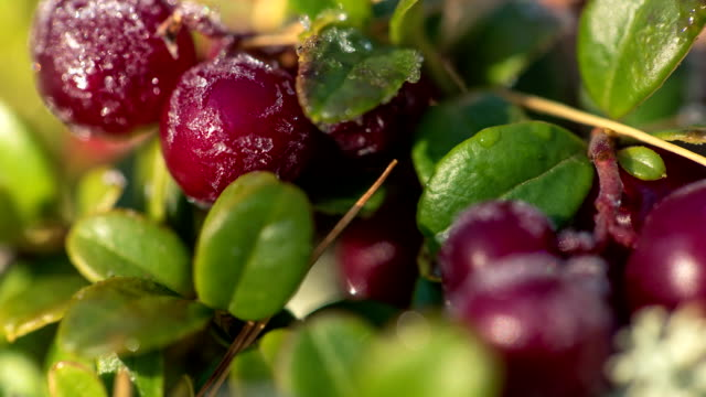 Frost melting on cow-berry plant leaves video