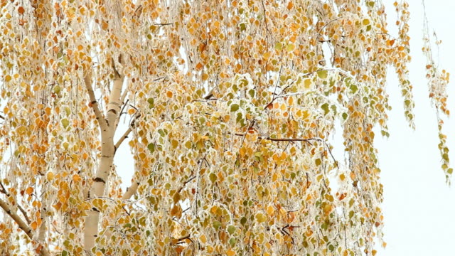 HD: Frosted Leaves video