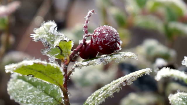 Frozen cowberry video