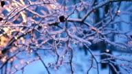 Frozen eglantine under windflaw video