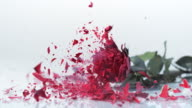 SLO MO LD Frozen red rose falling and breaking into tiny pieces video