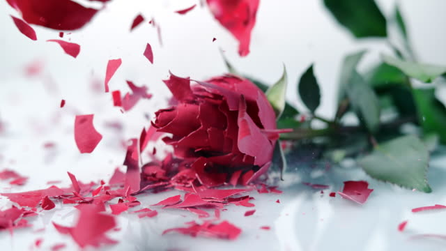 SLO MO Frozen red rose shatters on the white surface video