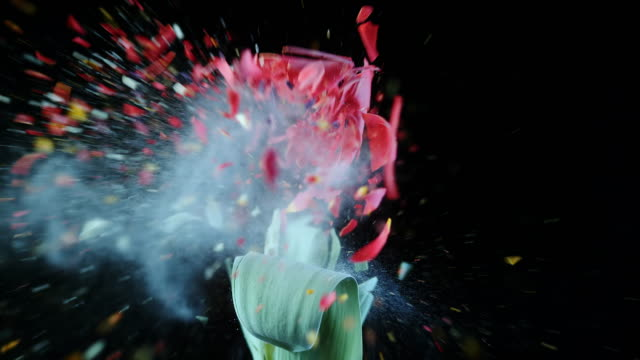 SLO MO Frozen red tulip exploding video