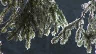 HD: Frozen twigs video