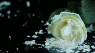 SLO MO Frozen white rose shatters on the black surface video