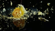 SLO MO Frozen yellow rose shatters on the black surface video
