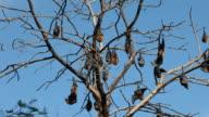 Fruit Bat Colony video