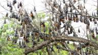 Fruit Bats hanging video