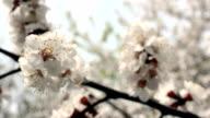 Fruit tree blossom close-up. video