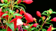 Fuchsia erige flowers blooming video