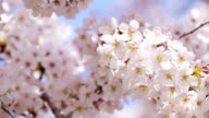 Full blooming of cherry flowers in a sunny spring day video