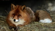 Full length portrait of a posing red fox male in natural environment. video