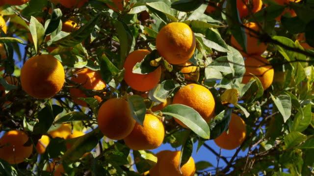full of mandarin tree close up sunny malaga 4k video